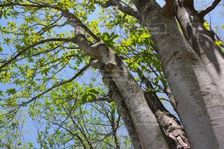 栃の木の写真・画像素材[2113838]