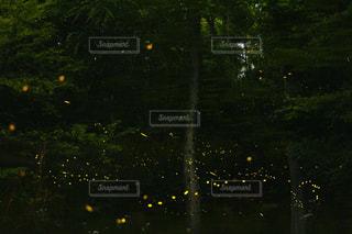 ヒメホタルの写真・画像素材[2171152]