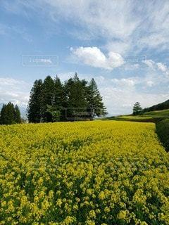 里山の菜の花畑の写真・画像素材[2101263]