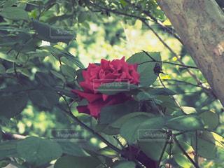 赤い花の写真・画像素材[2101682]