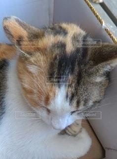 眠る三毛猫の写真・画像素材[2101733]