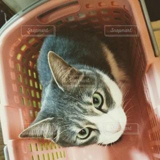 カメラを見ている猫の写真・画像素材[2102547]
