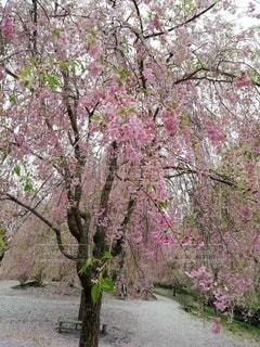 しだれ桜の写真・画像素材[2102565]