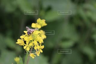 菜の花とミツバチの写真・画像素材[2105116]
