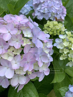 紫陽花の写真・画像素材[4472137]