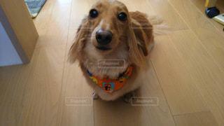 床に座っている犬の写真・画像素材[2110858]