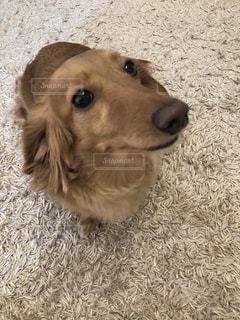 カメラを見ている茶色の白い犬の写真・画像素材[2125363]