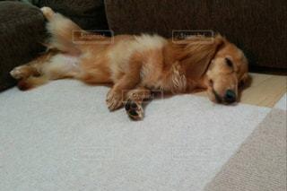 床に横たわっている大きな茶色い犬の写真・画像素材[2129661]