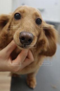 カメラを見ている犬の写真・画像素材[2179073]