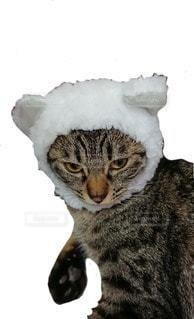 熊 雉猫の写真・画像素材[2103341]