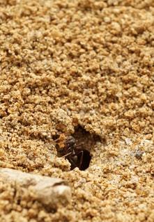 蟻の巣づくり アリの写真・画像素材[2103826]