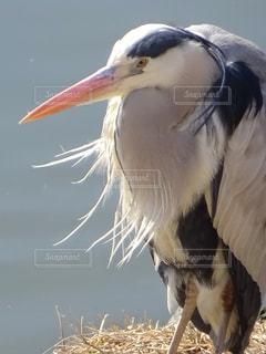川岸の青鷺の写真・画像素材[2112952]