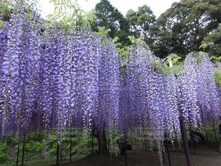 山寺の藤の写真・画像素材[2118331]