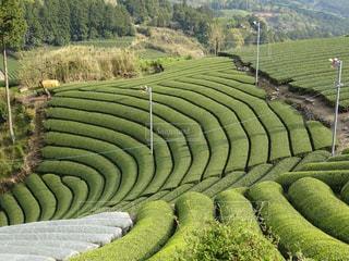 茶畑の写真・画像素材[2118334]