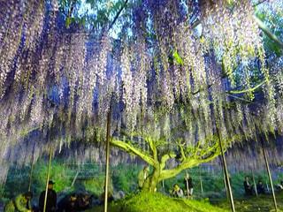 藤の木の写真・画像素材[2118339]