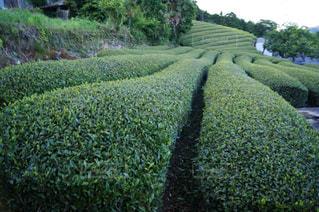 茶畑の写真・画像素材[2121759]