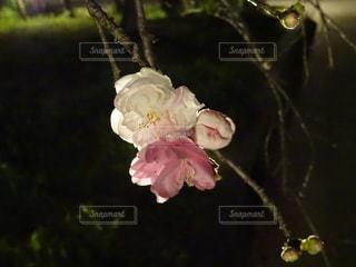 桜のクローズアップの写真・画像素材[2121784]