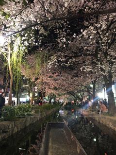 夜桜の写真・画像素材[2121979]