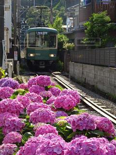 ピンクの花の上の電車の写真・画像素材[2175405]