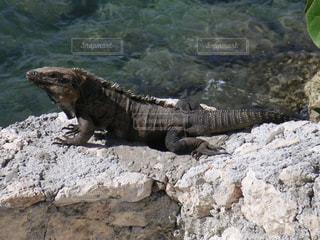 岩の上のイグアナの写真・画像素材[2127610]