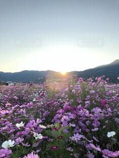 紫色の花で満たされた花瓶の写真・画像素材[2105162]