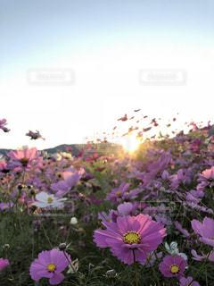 紫色の花の束の写真・画像素材[2105163]