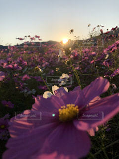 紫色の花で満たされた花瓶の写真・画像素材[2105164]