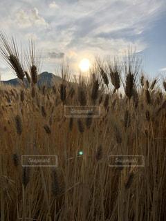 高い草の畑の写真・画像素材[2105296]