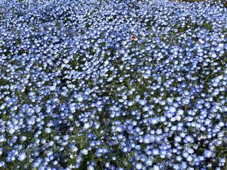 花のクローズアップ ネモフィラの写真・画像素材[2105294]