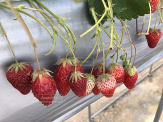 赤い果実の接写 いちご狩りの写真・画像素材[2117594]