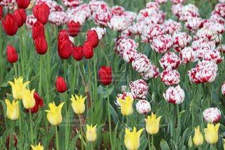 色とりどりの花のグループ チューリップの写真・画像素材[2117597]