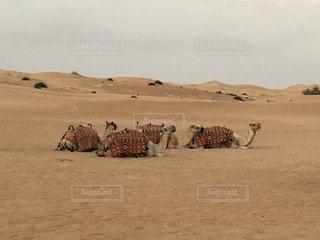 砂漠の動物の群れの写真・画像素材[2118040]