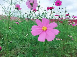 野原のピンクの花の写真・画像素材[2142863]