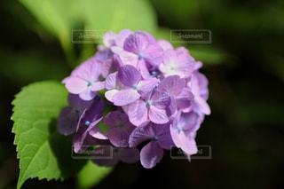 紫陽花の写真・画像素材[2134291]