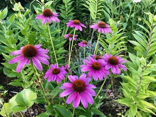 紫色の花の束の写真・画像素材[2211069]