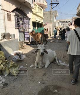 インドの路上に伏す牛の図の写真・画像素材[2105915]