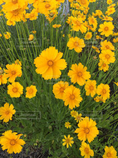 黄色い花いっぱいの写真・画像素材[2106599]