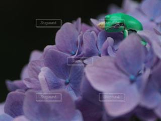 紫陽花とカエルの写真・画像素材[2108269]