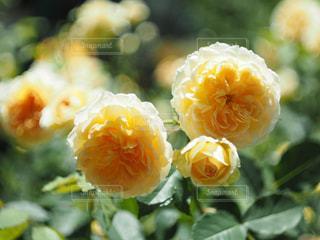 花のクローズアップの写真・画像素材[2108867]