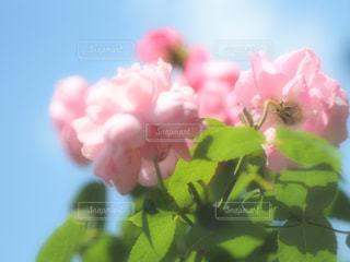 花のクローズアップの写真・画像素材[2108868]