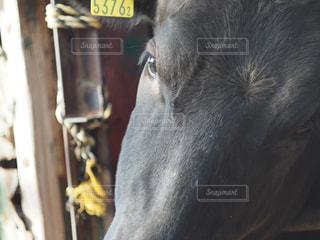 牛の写真・画像素材[2116668]