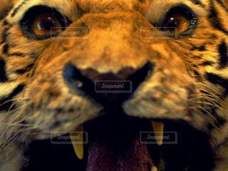 虎の写真・画像素材[2116826]