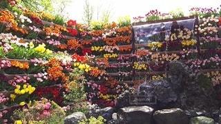 チューリップフェア花の大谷の写真・画像素材[2118318]