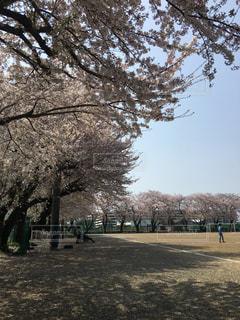 中学校の桜の写真・画像素材[2107079]