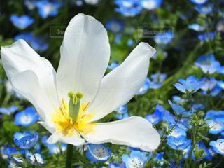 ネモフィラの中の白い花の写真・画像素材[2107165]
