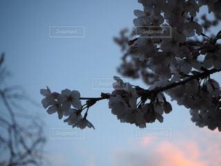 桜のアップの写真・画像素材[2107216]