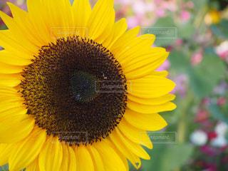 大きく花咲く向日葵の写真・画像素材[2108259]