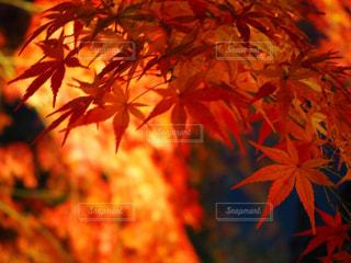 紅葉の赤の写真・画像素材[2108511]