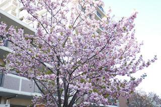 桜の写真・画像素材[2107800]