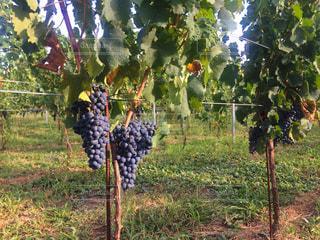 ワインぶどう畑の写真・画像素材[1428471]